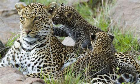 imagenes del jaguar con sus crias un beb 233 leopardo abraza a su madre despu 233 s de ser