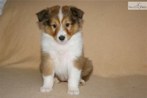 sheltie puppies for sale in pa sheltie pups