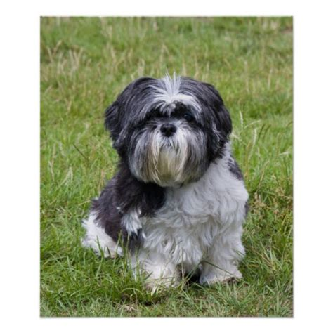 shih tzu pictures to print shih tzu beautiful photo poster print zazzle