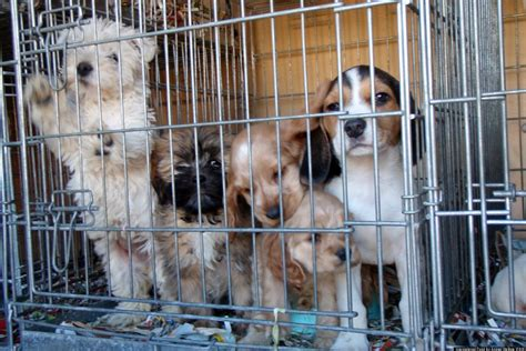 california puppy mill puppy mills international fund for animal welfare report exposes