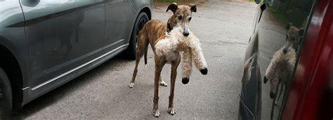 home greyhound pets of america canada