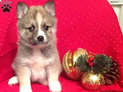 puppies fresno 1000 ideas about pomsky puppies on pomsky puppies for sale puppies for