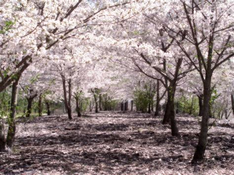 cherry blossom tree b q wikip 233 dia