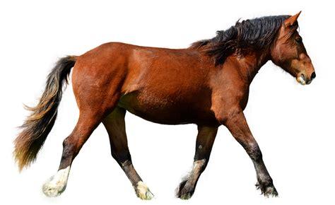 cavallo clipart cavallo isolato marrone 183 foto gratis su pixabay