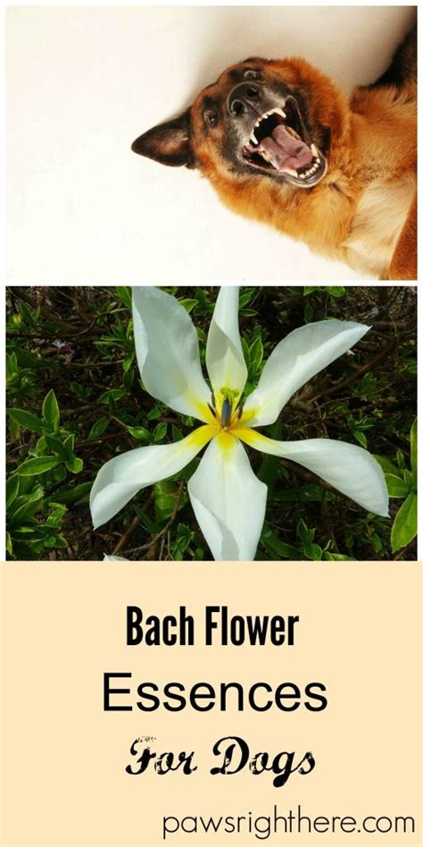 rescue remedy for dogs bach flower rescue remedy for dogs paws right here