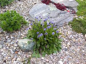 Rock Garden Plants For Sale Rock Gardens Forum Self Sowing Plants In The Rock Garden Garden Org