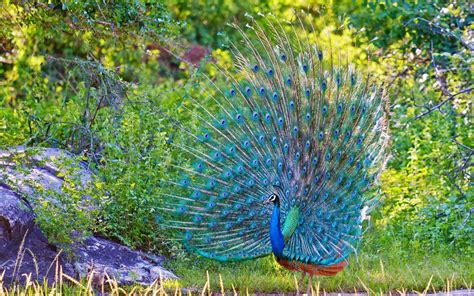 desktop nature wallpaper indian blue peacock free latest peacock hd wallpapers free download new hd