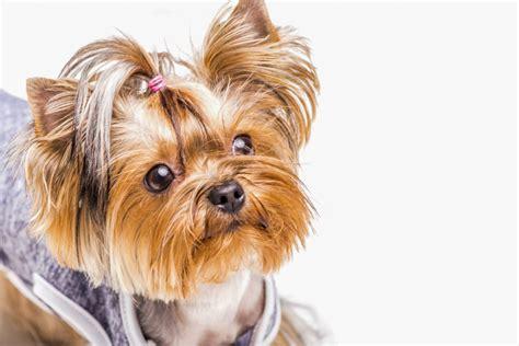 corte pelo yorkshire terrier como cortar el pelo un yorkie chungcuso3luongyen
