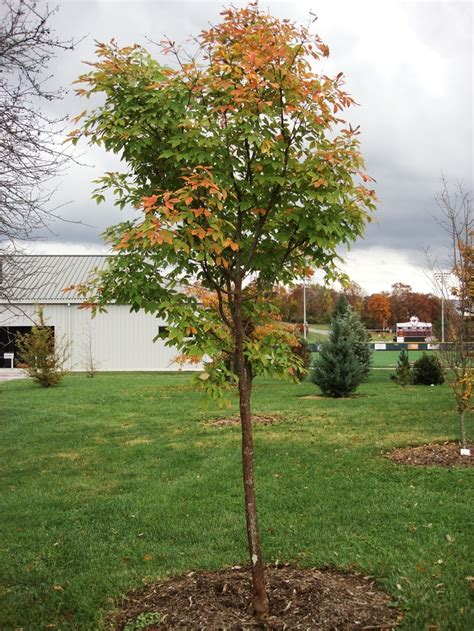 plant molly fordham paperbark maple    virginia