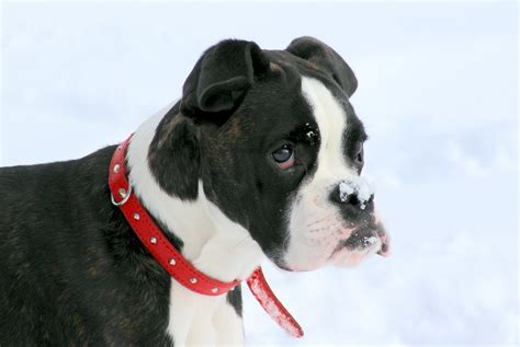 best temperament dogs boxer temperament boxer info and health tips