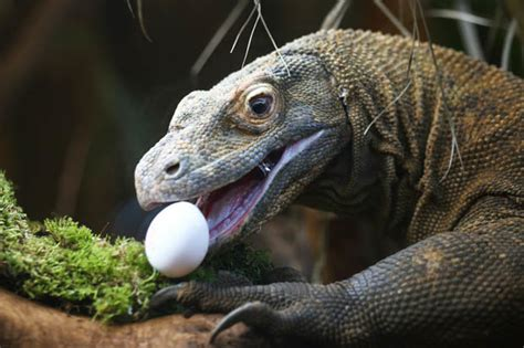 dragons den blizzard  lizard facts daily star