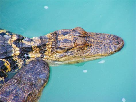 what color are alligators the 8 differences between alligators and crocodiles