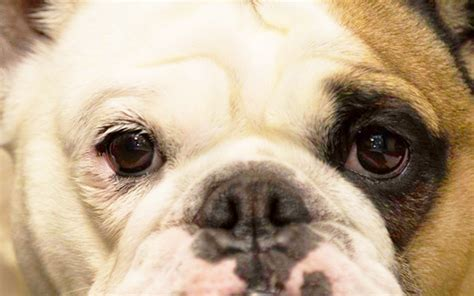 colors dogs see do dogs see colors bulldogguide