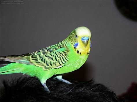 The best Budgie budgies Pictures | Budgerigar Budgie ...