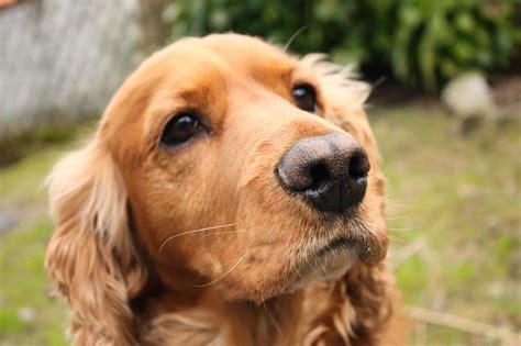 perros de raza cocker imagenes mira excelentes fotos de perros cocker super 4 patas
