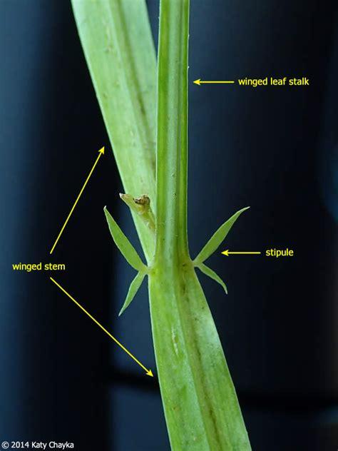 lathyrus sylvestris narrow leaved everlasting pea
