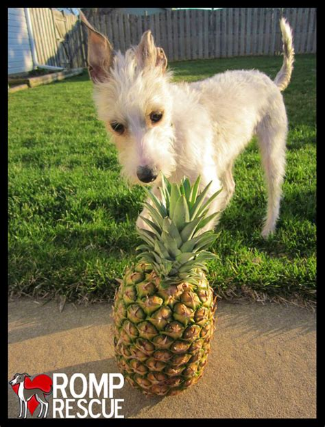 is pineapple bad for dogs deadly foods romp italian greyhound rescue chicagoromp italian greyhound rescue