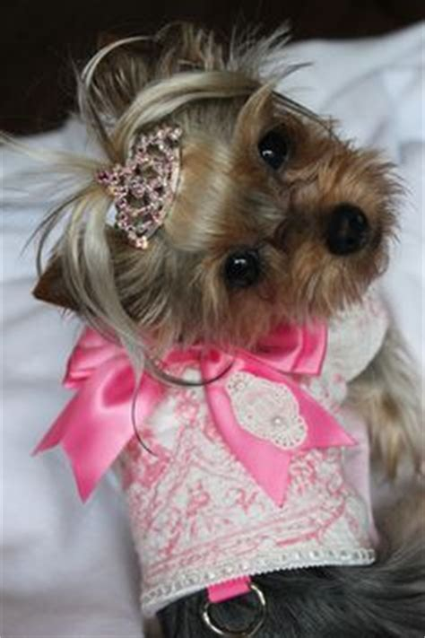 designer yorkie haircuts 37 best images about yorkie hair styles on pinterest ux