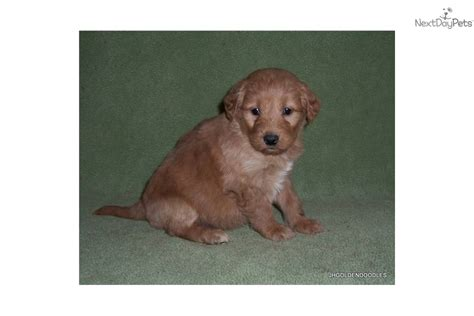puppy finder by state goldendoodle puppy for sale near binghamton new york 6b7b6a17 2ac1