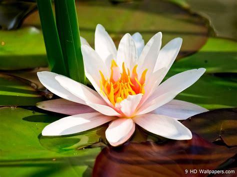lotus flower hd wallpapers  hd wallpapers