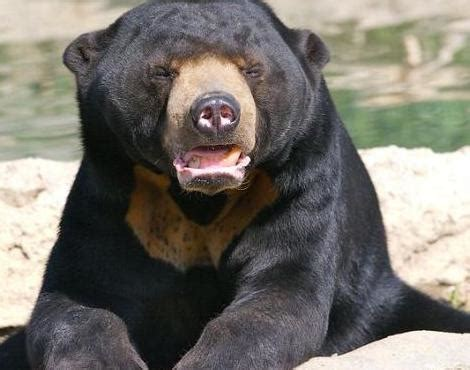 Beruang Thailan sun helarctos malayanus animals a z animals