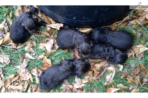 boykin spaniel puppies for sale near me boykin spaniel for sale for 900 near dothan alabama 9225470e ebc1