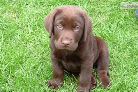 lab puppies for sale in illinois chocolate lab labrador retriever puppies for sale in chicago illinois breeds picture
