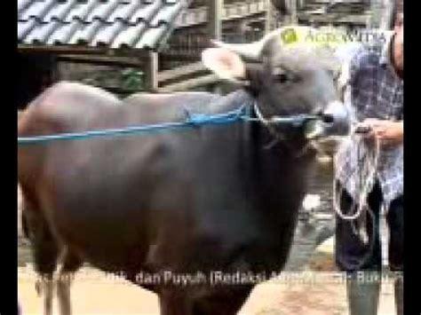 Buku Beternak Sapi Limousin cara memilih bibit sapi untuk penggemukan doovi
