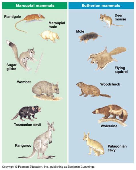 marsupials mammals exles