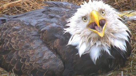 pictures of bald eagles impremedia net