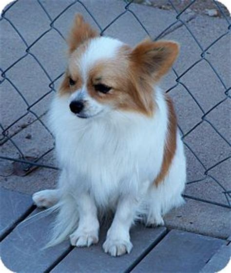 pomeranian mixed with papillon prissy adopted pldf san angelo tx pomeranian papillon mix