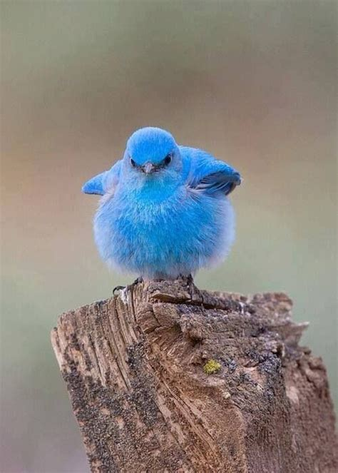 mountain baby bluebird stuff i like pinterest