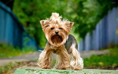 yorkie wallpaper for walls yorkshire terrier wallpaper animal wallpapers 38456
