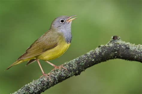 connecticut warbler audubon field guide