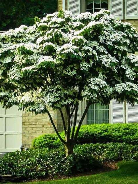 buy flowering trees online the tree center