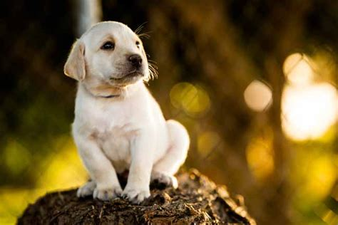 comfort retrievers for sale comfort retrievers for sale 28 images the best 28