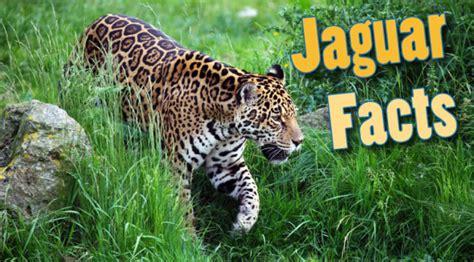 image gallery jaguar animal habitat information