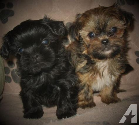 yorkie shih tzu for sale shorkie puppies shih tzu x yorkie for sale in greensburg pennsylvania