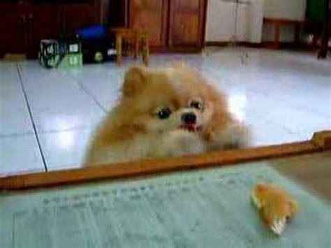 pomeranian stop barking pomeranian barking contest doovi