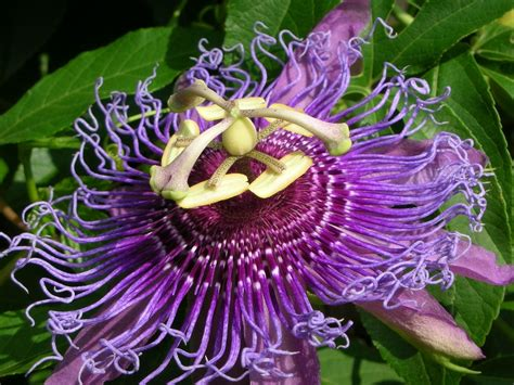 passiflora in vaso passiflora passiflora caerulea ricanti passiflora