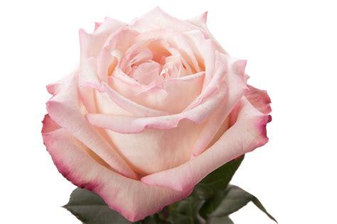light pink garden rose joyce pink roses flower muse