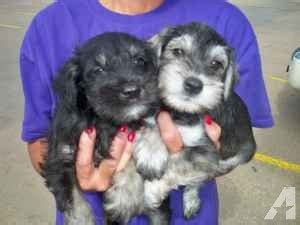 puppies for sale in salina ks mini schnauzer wamego for sale in salina kansas classified americanlisted