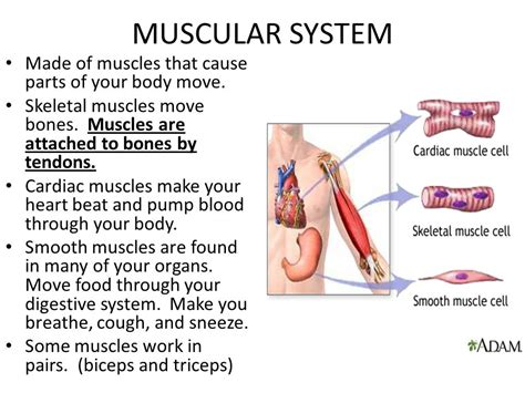 A Tour Of Your Muscular And Skeletal Systems human systems ppt