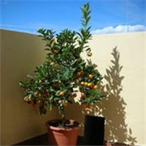 piante alte da terrazzo alberi da balcone piante da terrazzo alberi per il
