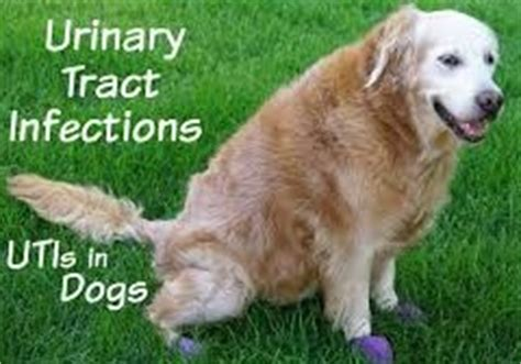 uti symptoms in dogs urinary tract infection uti causes uti symptoms and treatement