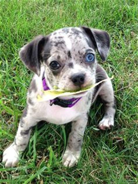 pug rat terrier mix animals on rat terriers adoptable beagle and pomeranian husky