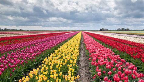 fiori tulipani come in olanda lo spettacolo dei ci di