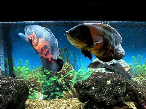 Feeder Fish For Oscars oscar feeding time