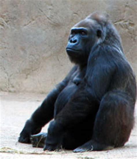 s day gorillavid and johnson update san diego animal park