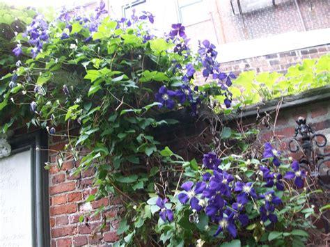climbing plant purple flowers climbing purple flowers by tayasekino on deviantart